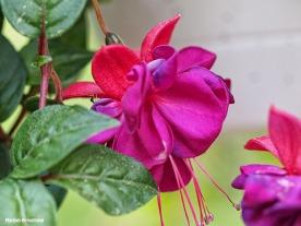 Fuchsia macro 0615-03