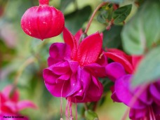 Fuchsia macro 0615-07