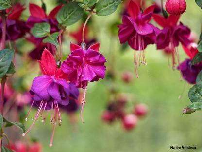 Fuchsia macro 0615-09