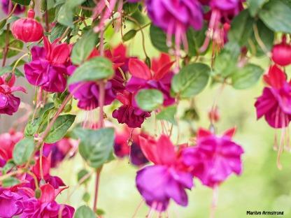 Fuchsia macro 0615-12