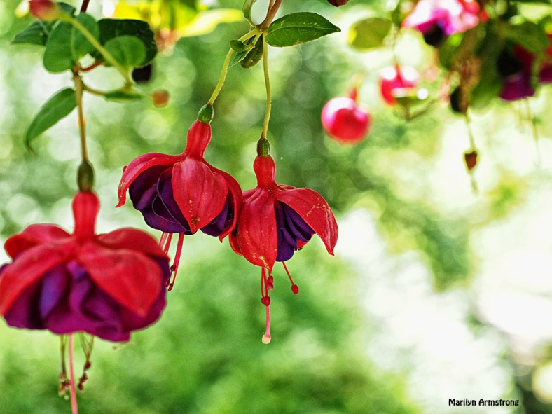 Fuchsia 4  June 2015