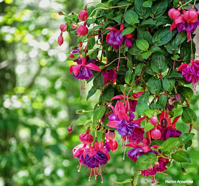 Fuchsia 5 June 2015