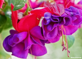 Fuchsia 3 June 2015