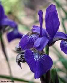 72-Irises_05