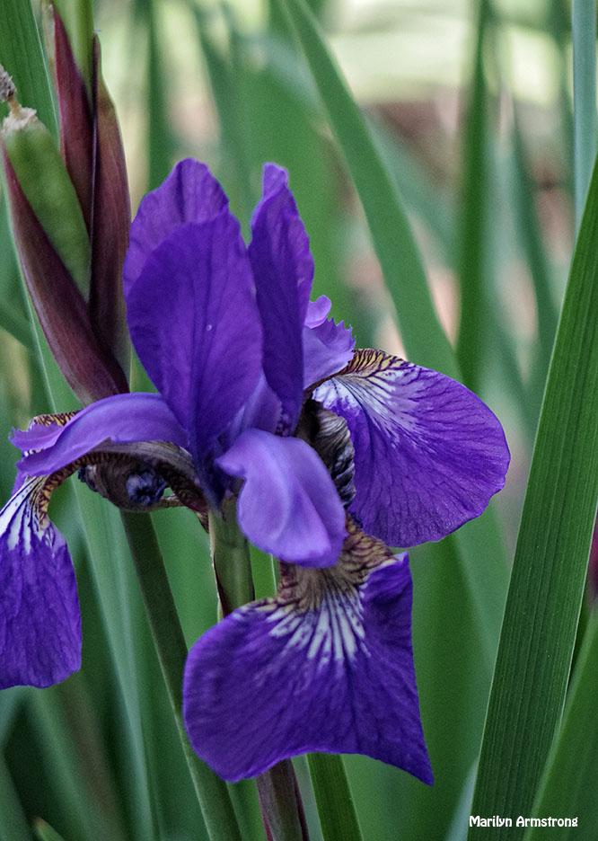 72-Irises_09