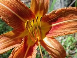 72-Lily-Garden_38