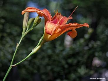 72-Lily-Garden_41