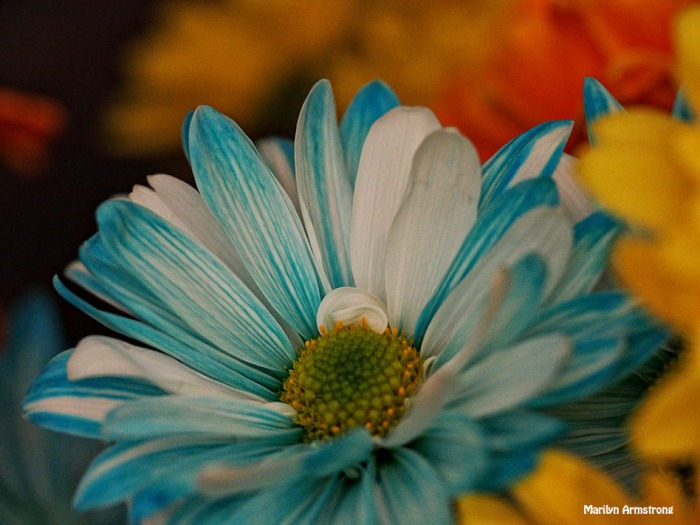 mixed daisy bouquet macro