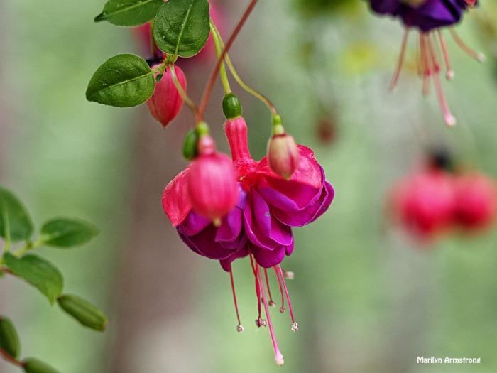 macro fuchsia free