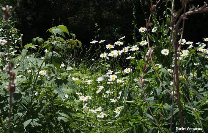 manchaug daisies