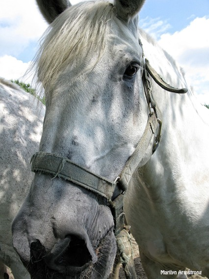 72-Percheron-eye-Horses_01