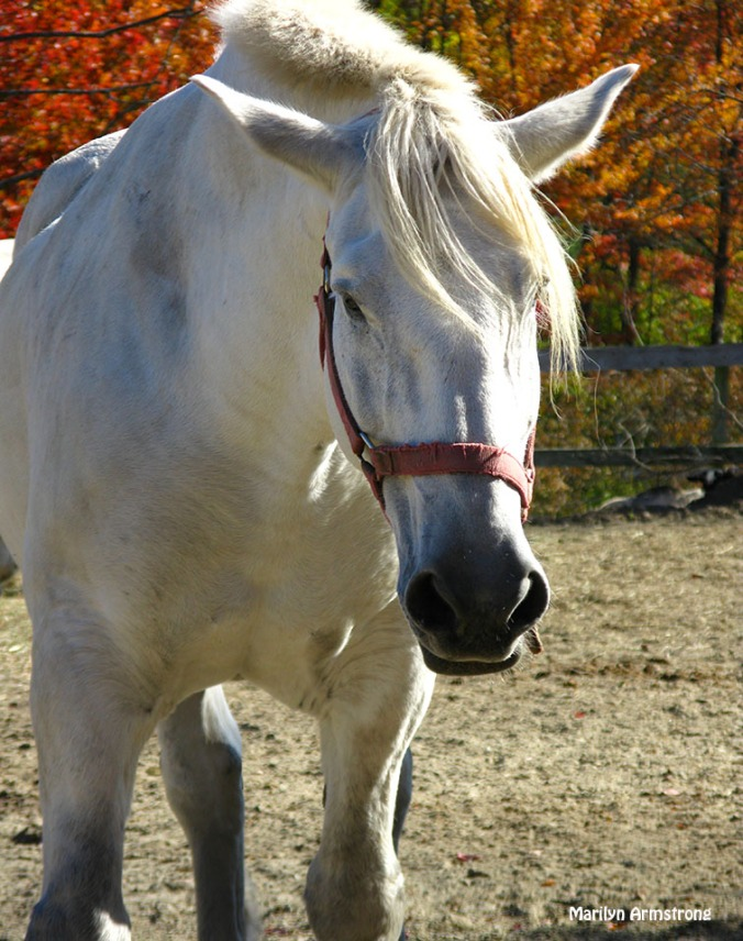 72-Percheron-Horses_06