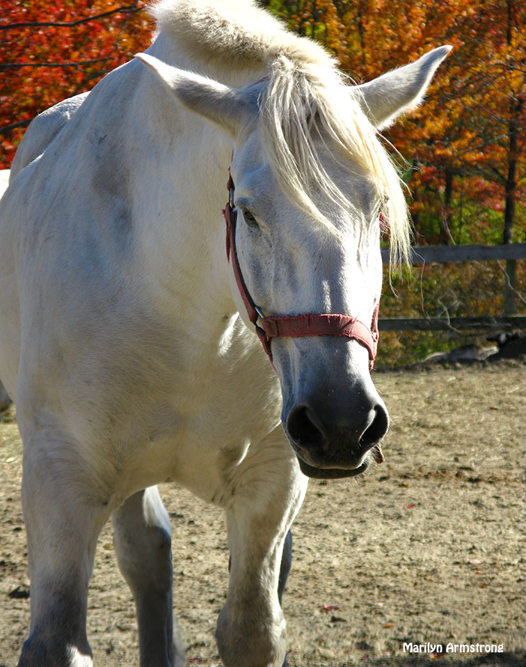 72-Percheron-Horses_06