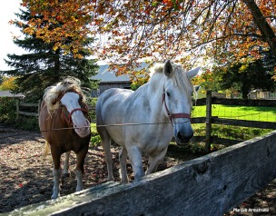 72-Percheron-Horses_21