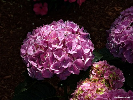 72-Pink-Flowers-Beacon-Hill_067
