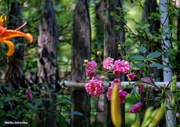 72-Pink-Roses-Garden_09