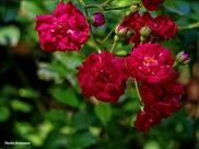 72-Red-Roses-Garden_14