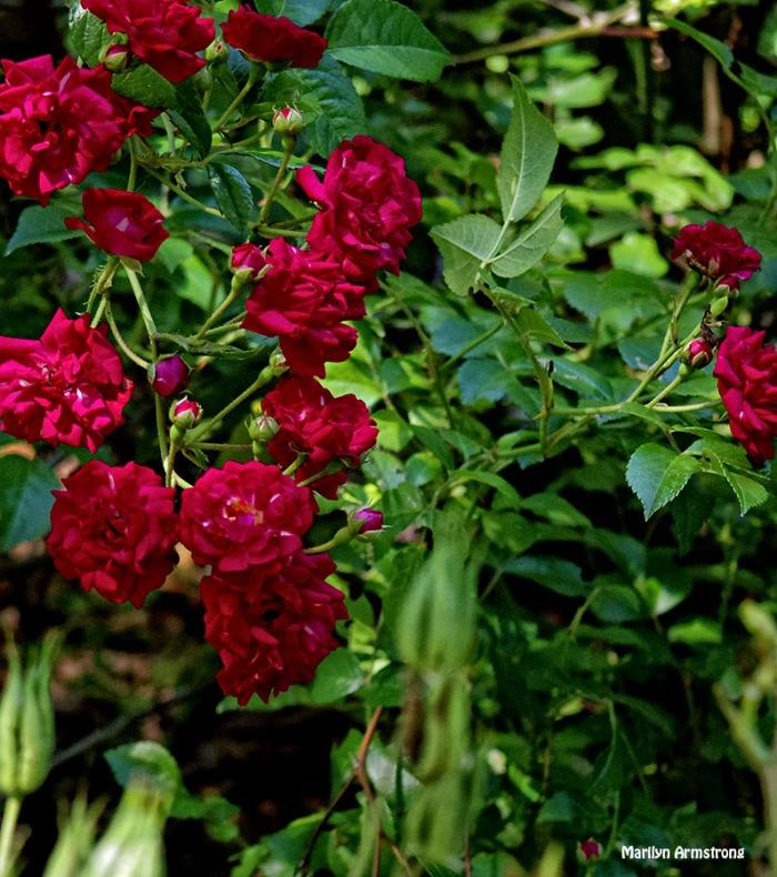 72-Red-Roses-Garden_16