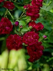 72-Roses-Garden_15
