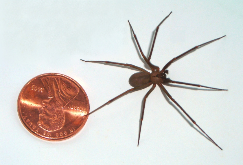 Brown-recluse-coin
