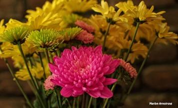 chrysanthemum 0630-51
