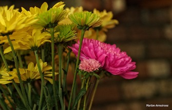 chrysanthemum 0630-13