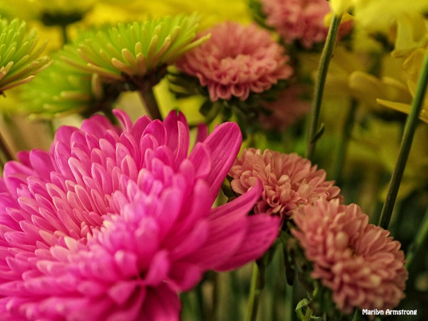 chrysanthemum 0630-15