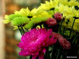 chrysanthemum 0630-18