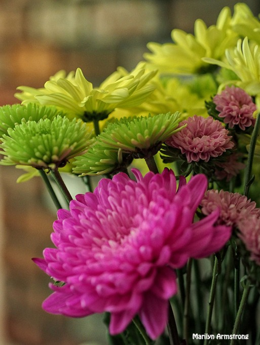 chrysanthemum 0630-21