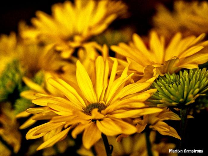 yellow chrysanthemum OIL