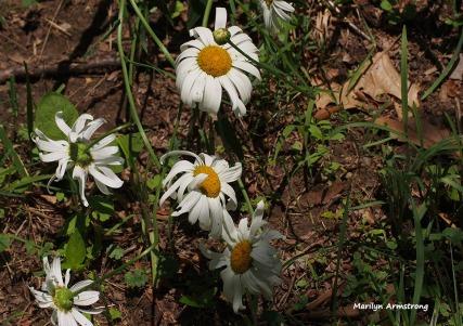 72-daisies-garden-071215_02