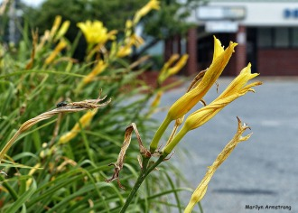 72-Fly-On-Lily-7-26-15_047