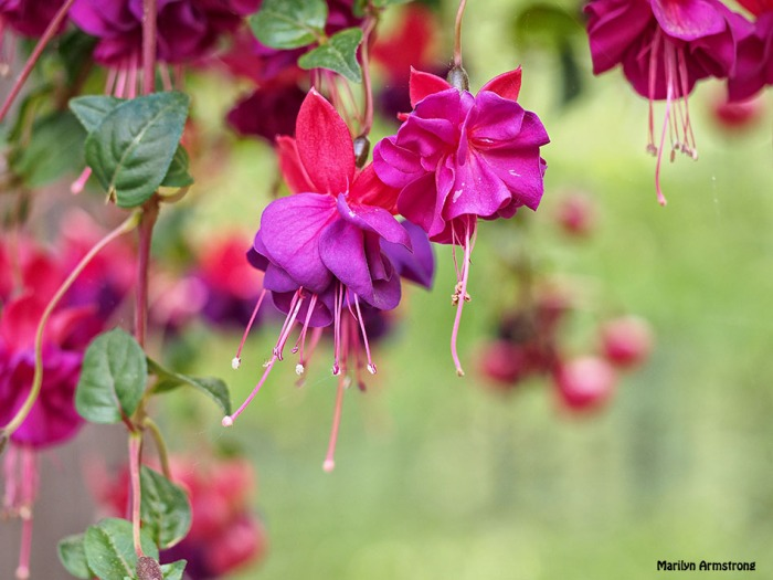 fuchsia macro 0615-10