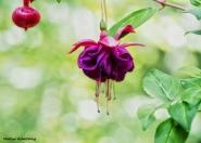 fuchsia trailing summer macro