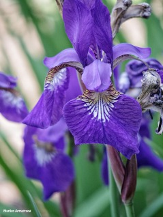72-Irises_01