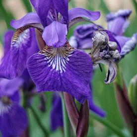 72-Irises_02