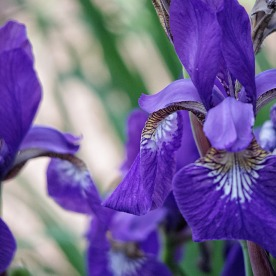 72-Irises_03