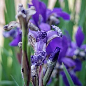 72-Irises_08