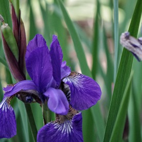 72-Irises_11