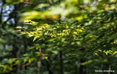 72-jap-maple-071215_06
