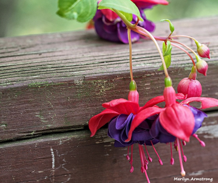 Macro fuchsia on the rail