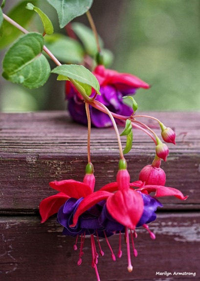 macro fuchsia July 2015