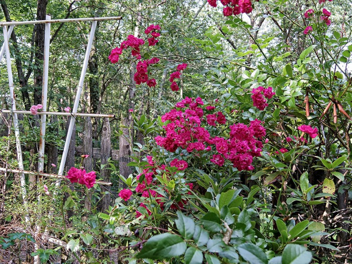 72-Rose-Garden-Q7_55