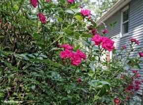 72-Rose-Garden-Q7_57