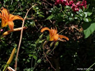 day lily wild garden 071214-15