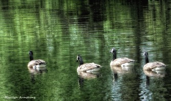 72-Geese_35