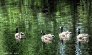 Afloat, Canada geese ...