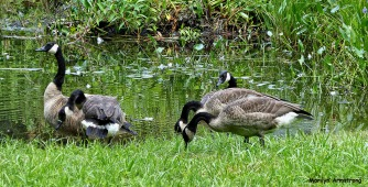 72-New-Geese_13