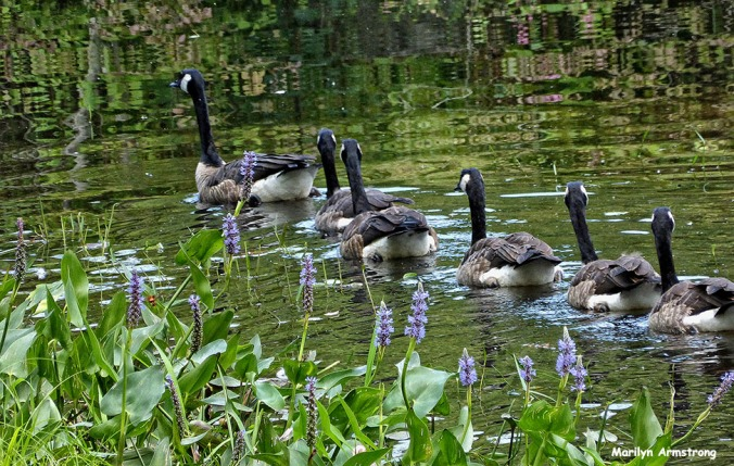 72-New-Geese_18