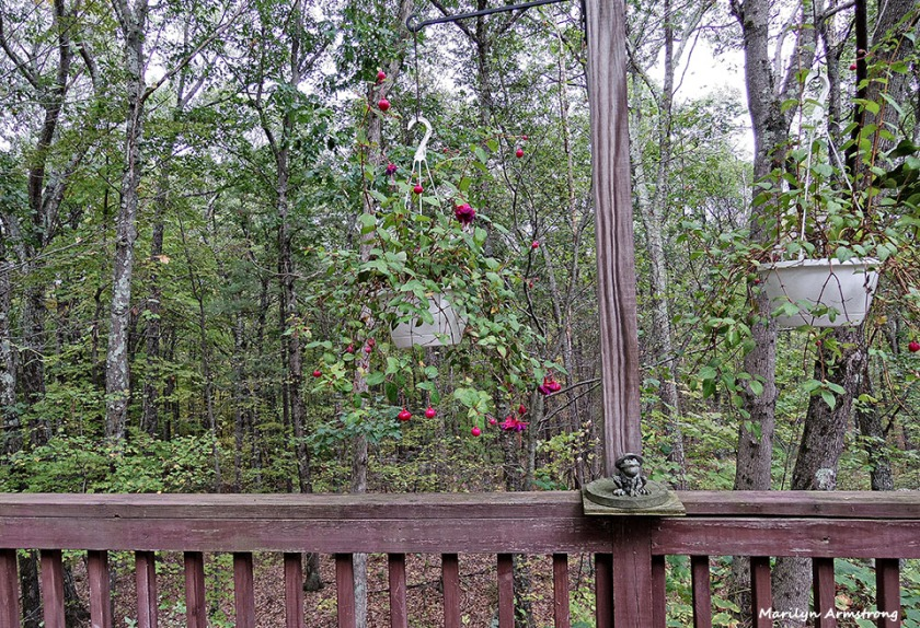 Into the woods from the back deck, through the last of the fuchsias.